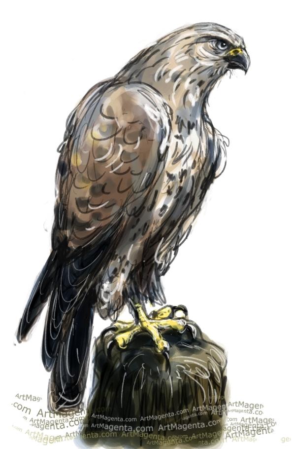 Rough-legged Buzzard sketch painting. Bird art drawing by illustrator Artmagenta