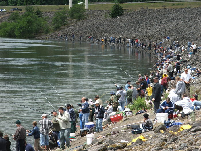 The fisheries blog american shad invading the west for Bonneville dam fish count