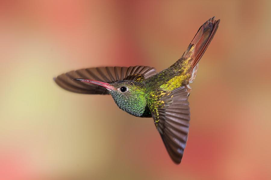 Bee hummingbird flying - photo#13