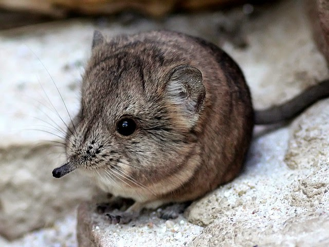 Tikus ada Belalai ditemui di Afrika