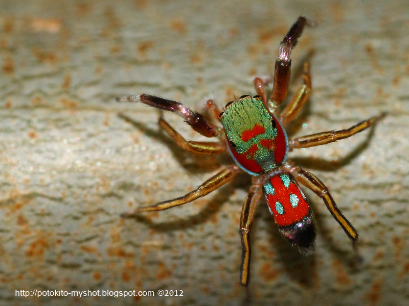 Colorful jumping spider - photo#3