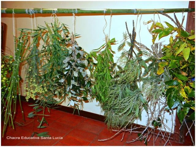 Secando ramitos de aromáticas - Chacra Educativa Santa Lucía