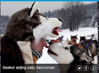 inovLy media : Seekor anjing salju berciuman