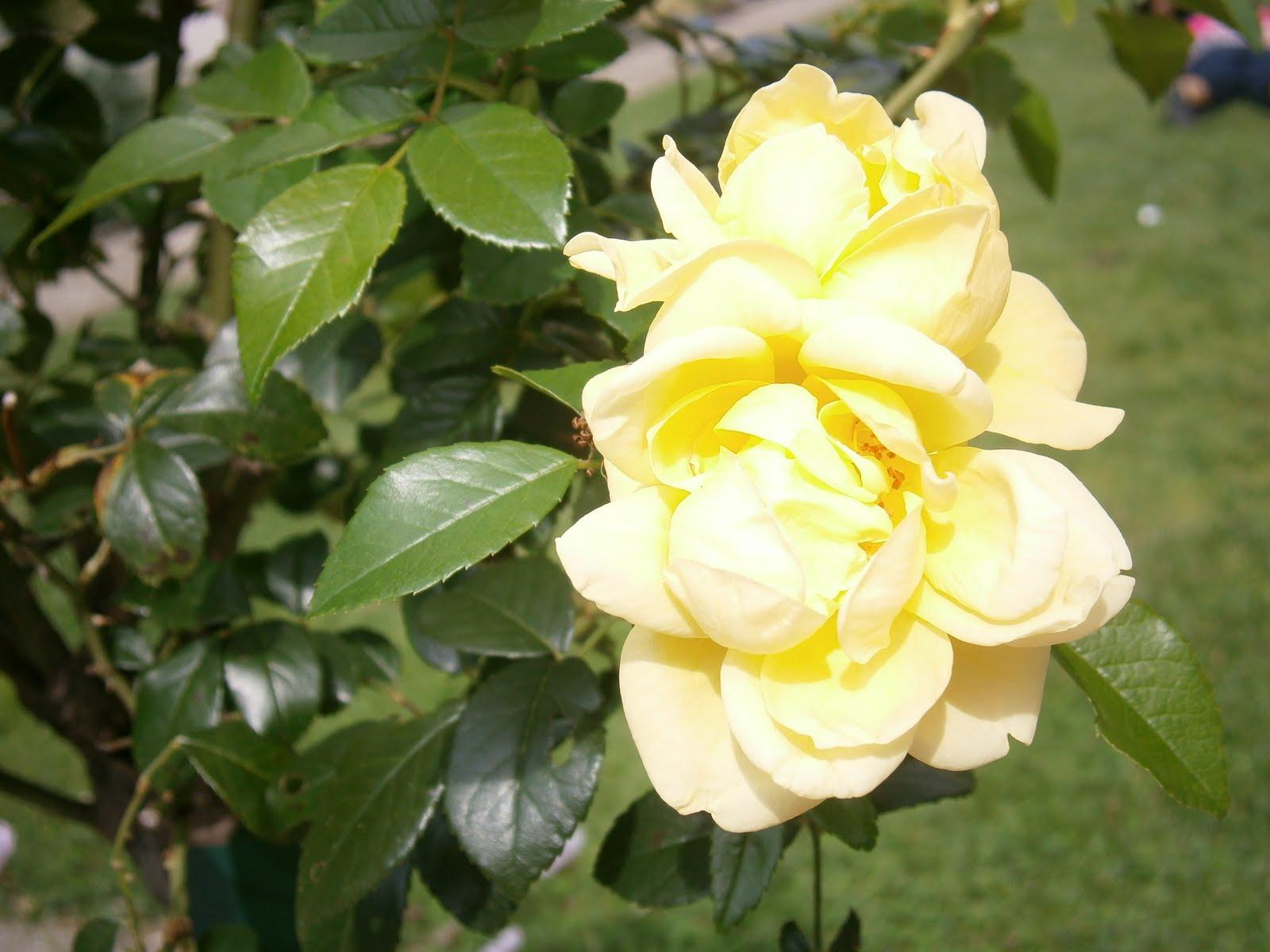 Plantes et fleurs de mon jardin photo d 39 une rose jaune for Plante jaune