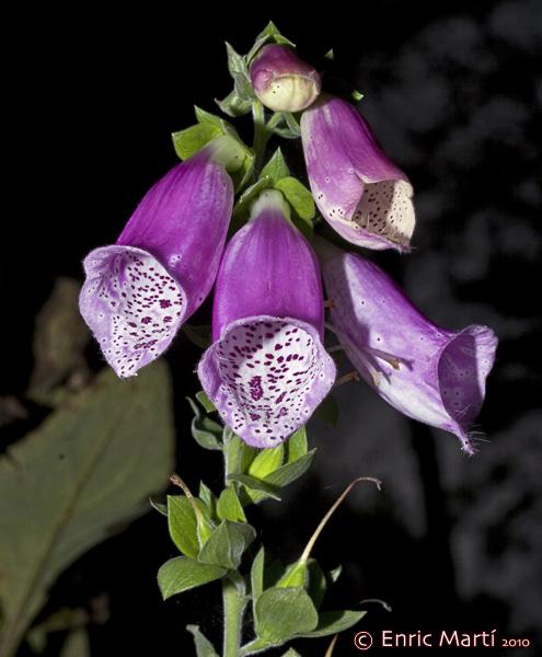 Imagenes De Flores Medicinales - Cempasúchil: usos rituales y medicinales Ecoosfera