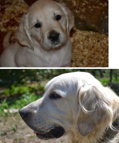 Cachorros de Golden descendientes de campeones del mundo
