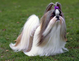 shih tzu dog info wallpaper photo pets