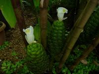 コフツス・ドゥビウス、竹林の中に生えてた