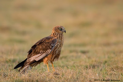 male eurasian marsh harrier