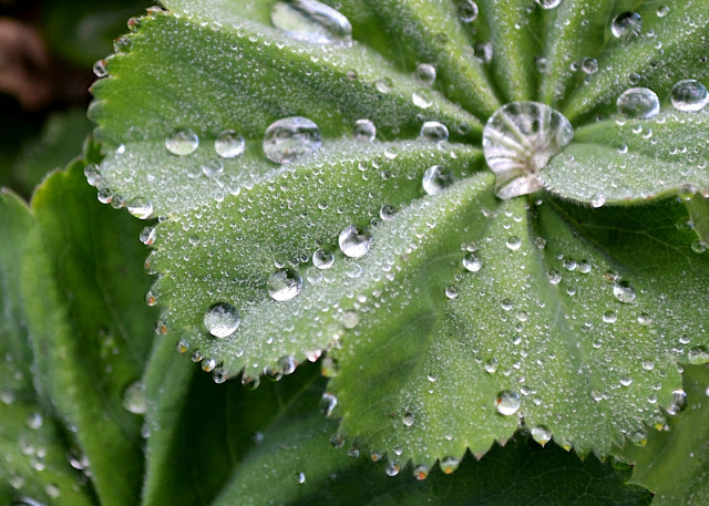 droplets, rain drops, gardening, springtime, plants, botany, nature, photography, lady's mantle