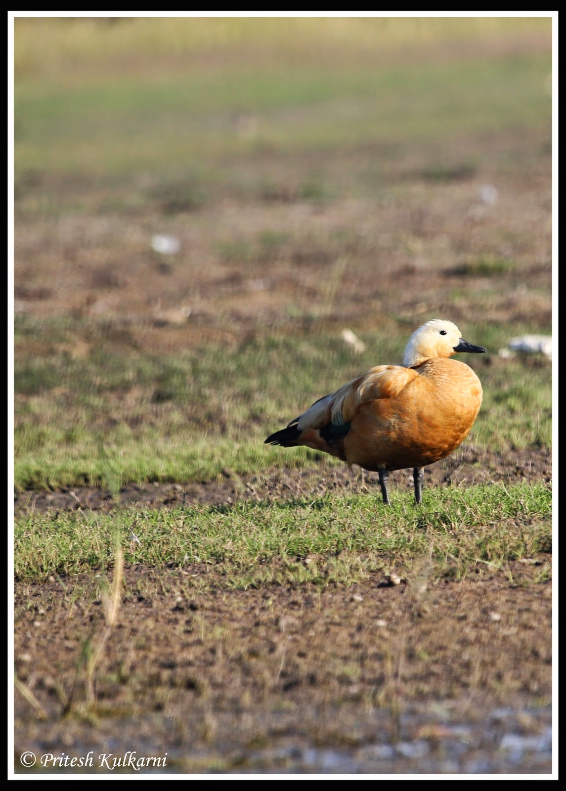 Ruddy Shelduck (aka Brahmini Duck)