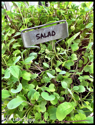 gardening microgreen garden plants basic salad mix