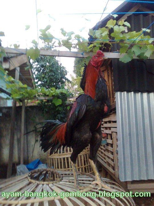 Perbedaan Ayam Taji Dan Ayam Pukul 2