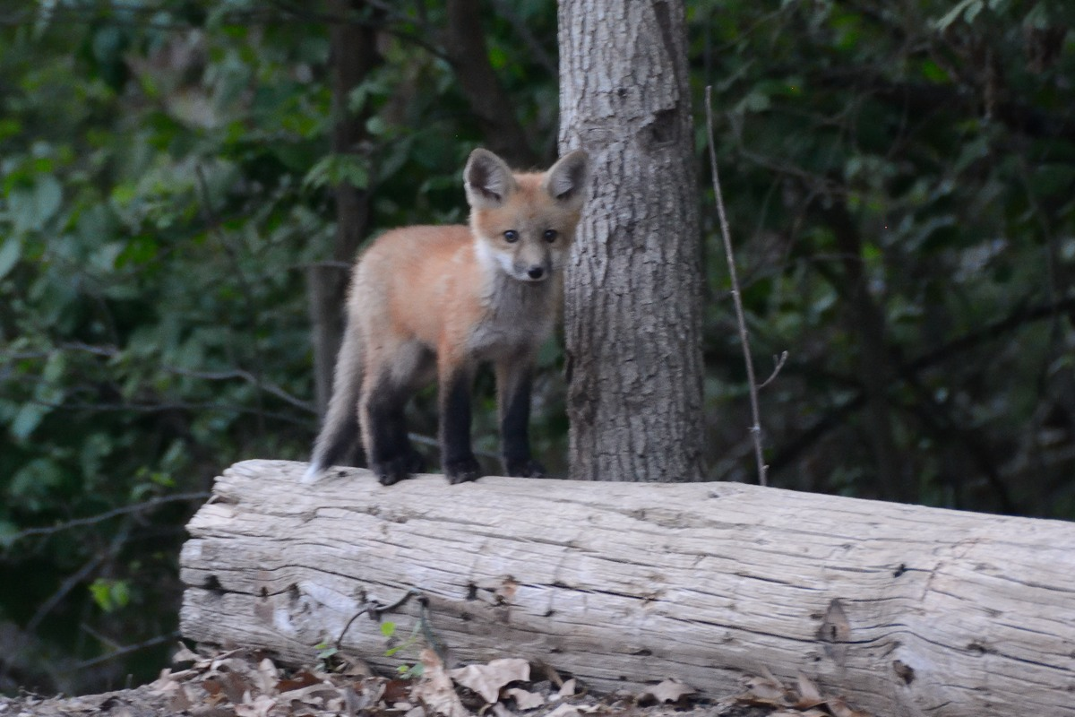 Young fox on a log near Beaver Lake in Rogers, AR