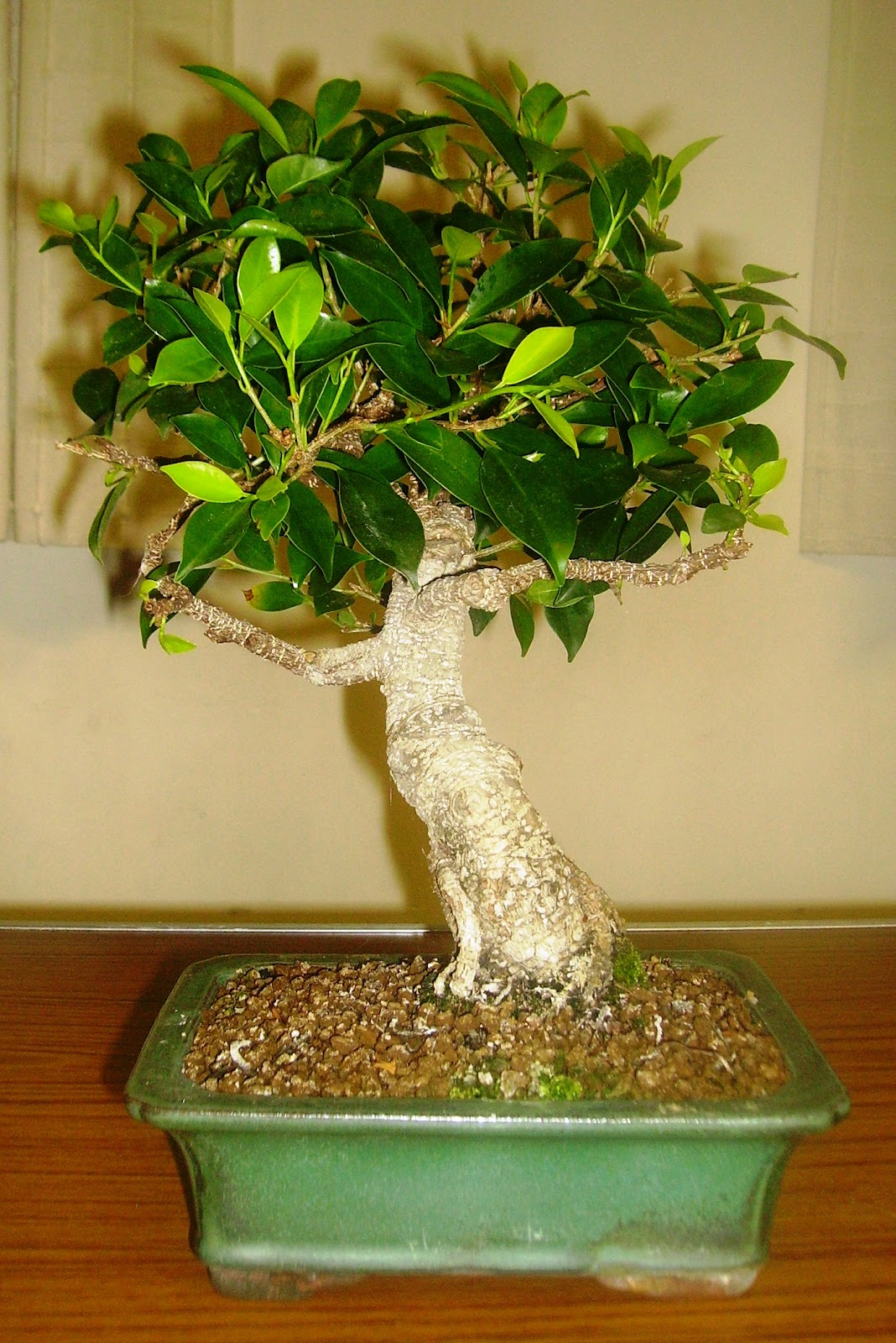Ashfield Bonsai Club Ashfield Bonsai Club Competition 2012