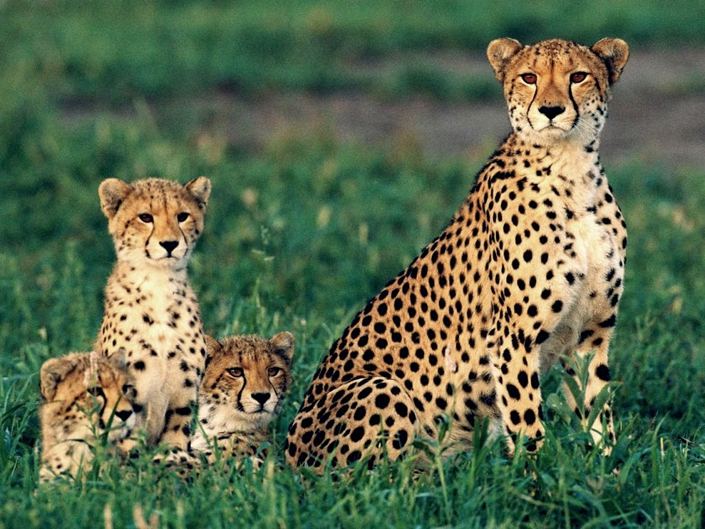 Gambar Cheetah