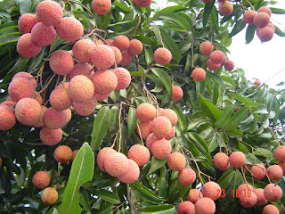Lychee and the endless benefits