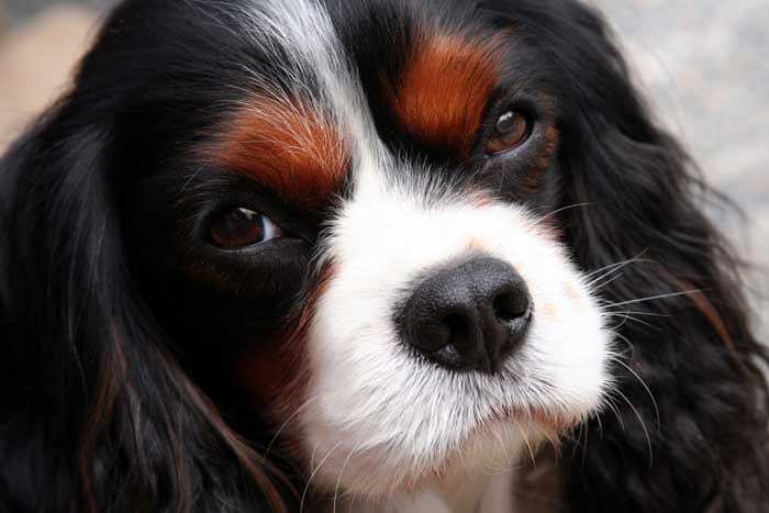 Cavaliers Dogs For Sale Near Me