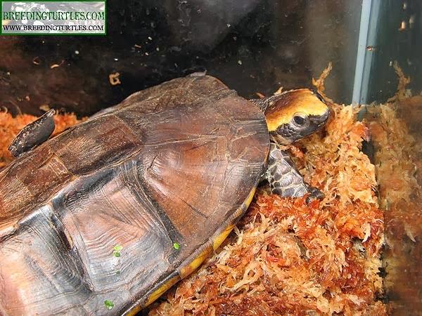 Platemys platycephala - Twist-necked turtle
