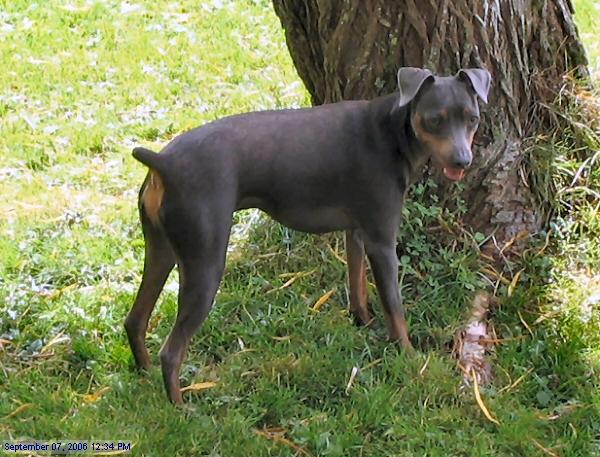 dogs: Miniature Pinscher dog