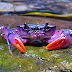 Insulamon palawanense et ses cousins, les crabes violets