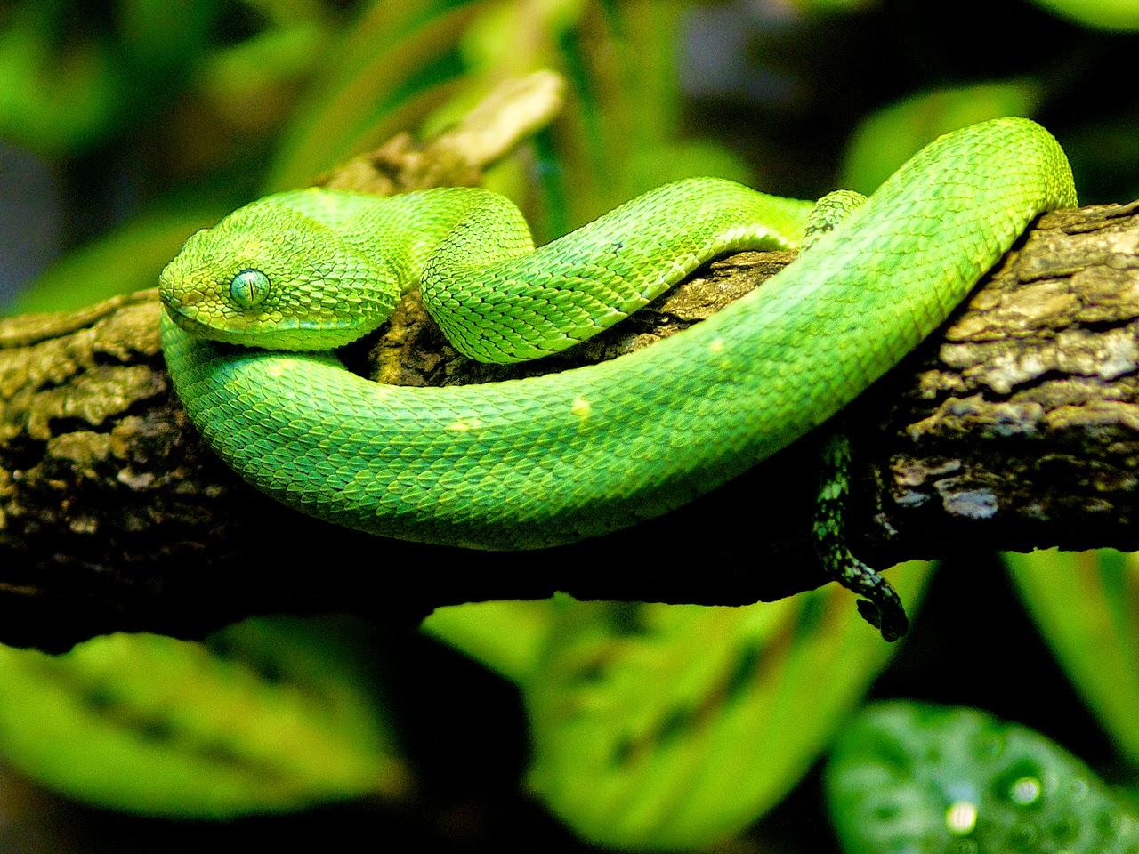 ΦΙΔΙ bush viper photos wallpapers the fun bank