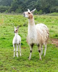 Llama and child