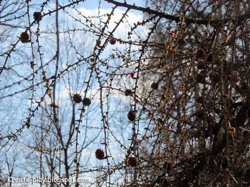 лиственница цветет весной