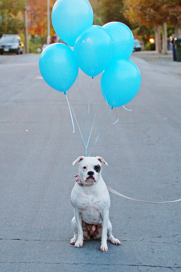 Gender-reveal announcement ideas: blue or pink balloons for the family dog