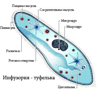 Инфузория туфелька фотосинтез