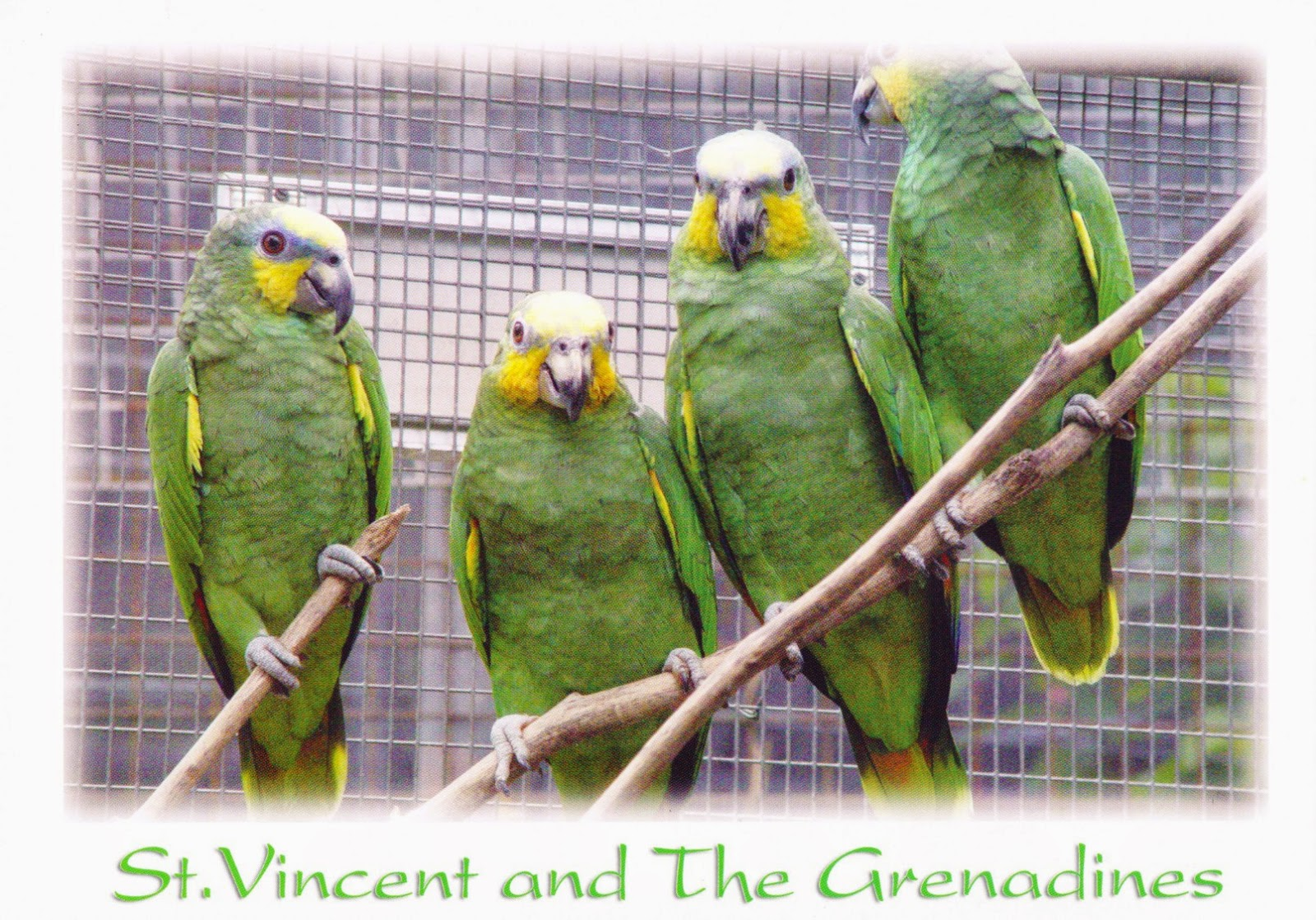 postcard, st vincent and the grenadines, amazona guildingii