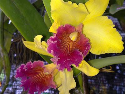 orkid hyrid