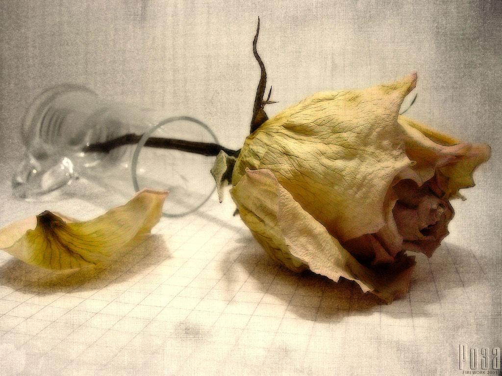 rosa marchita Descargar Fotos gratis Freepik - Imagenes De Rosas Marchitas