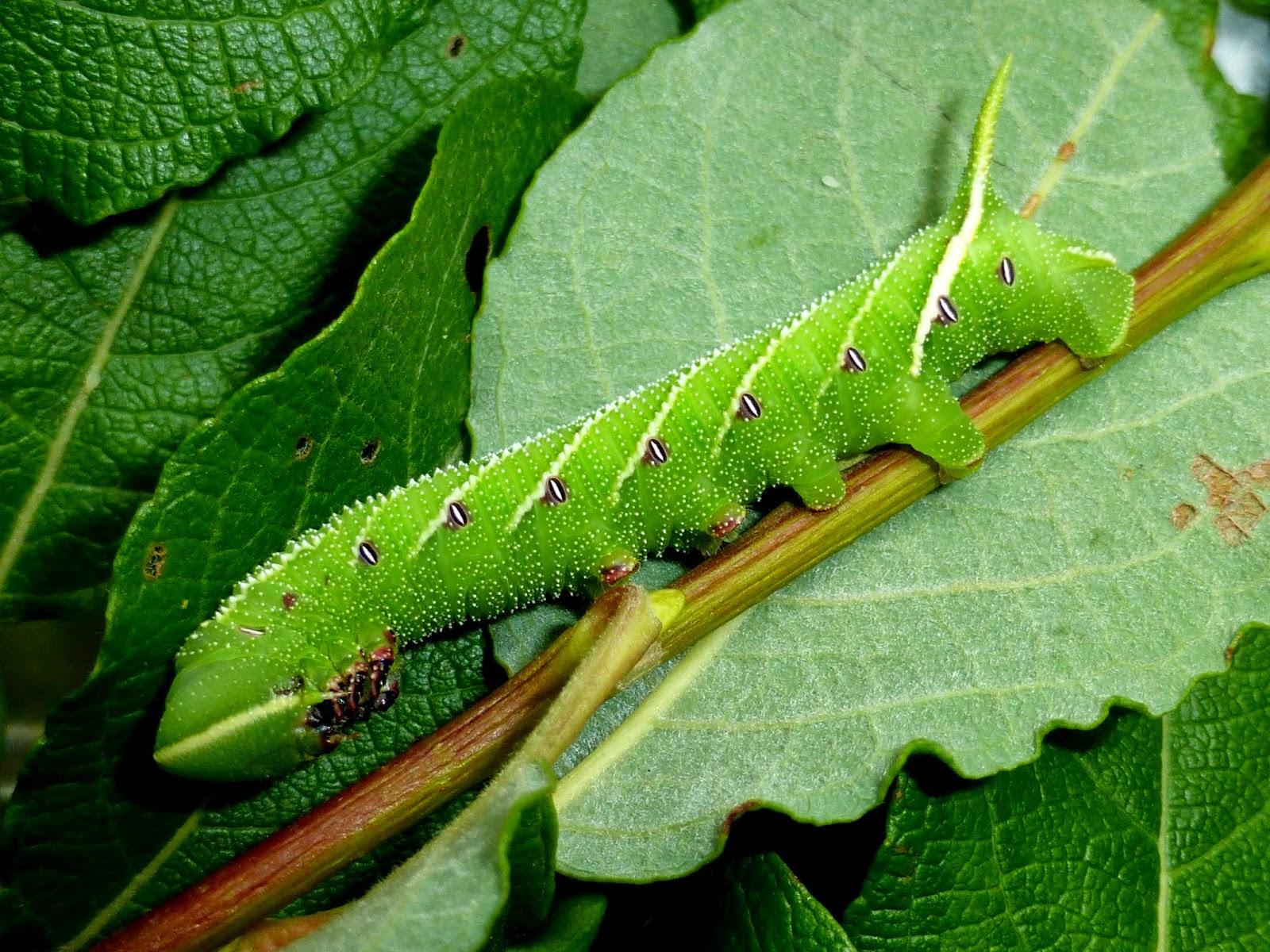 Smerinthus planus caterpillar
