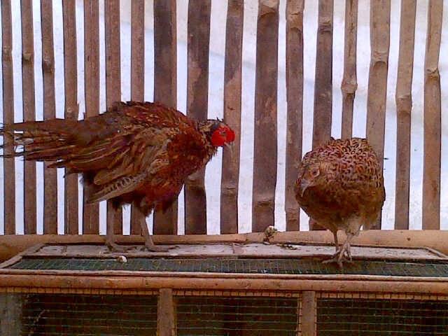 jual anakan ayam ring neck pheasant