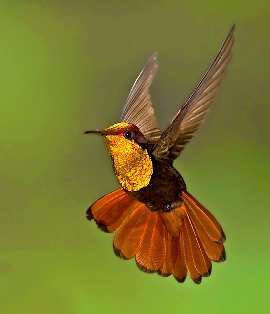 Beautiful golden brown hummingbird flying with wings