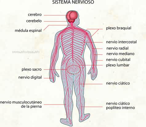 Anatomía Macroscópica: Sistema nervioso.