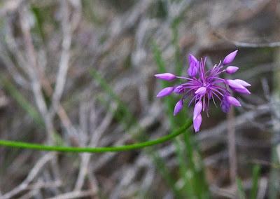 Purple Tassels (Sowerbaea laxifolia)