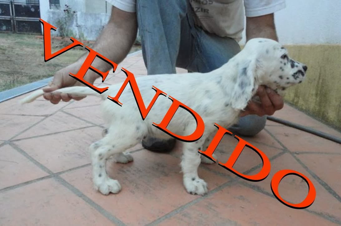 Cães para venda