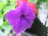 Surfinia deep purple