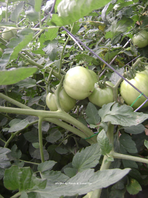 Better Boy Tomatoes #garden #tomato @greentomatoes