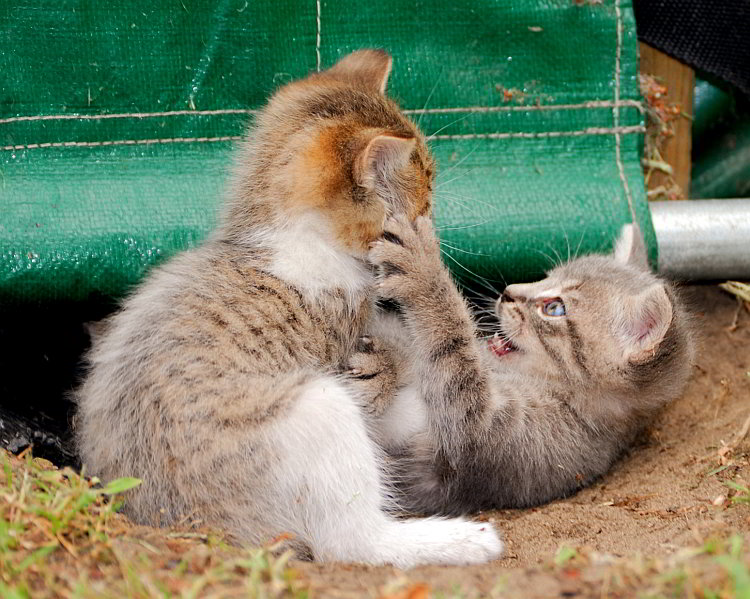 Two of the feral kittens at play.