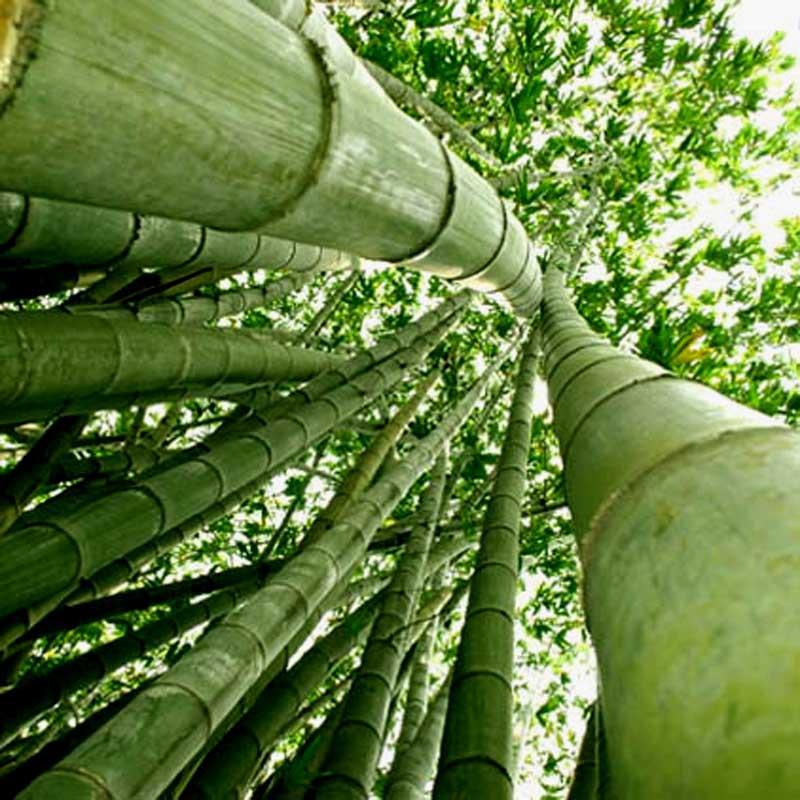 Enredada en la red eco humanos - Reproduccion del bambu ...