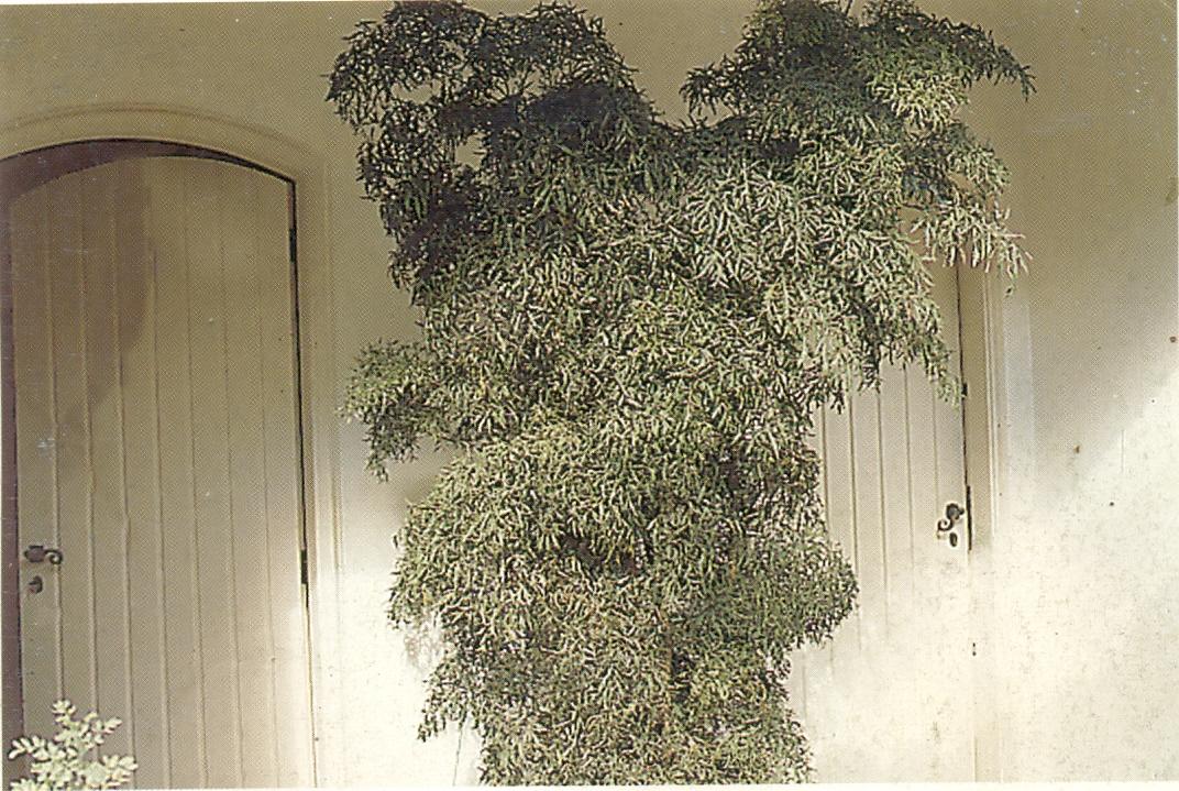 Ch cara flora rohn plantas ornamentais paisagismo - Plantas decorativas de interior ...
