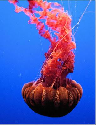 hình ảnh sứa đẹp nhất