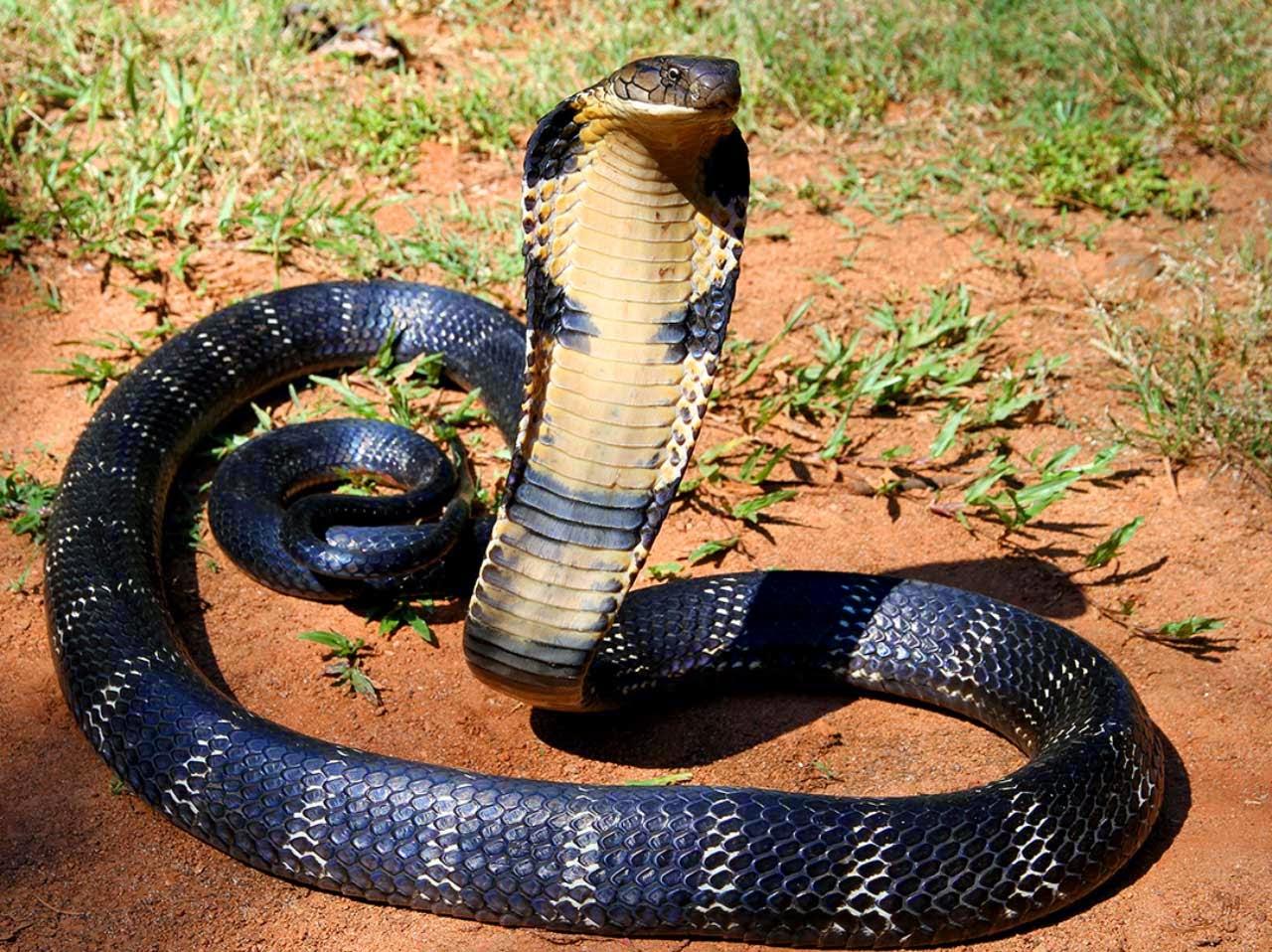 kerala snakes and reptiles