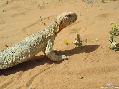 Kisah biawak padang pasir yang berkata kata
