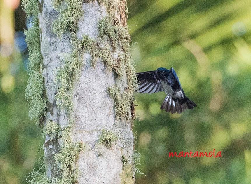Glossy Swiftlets (Collocalia esculenta) , Lichen