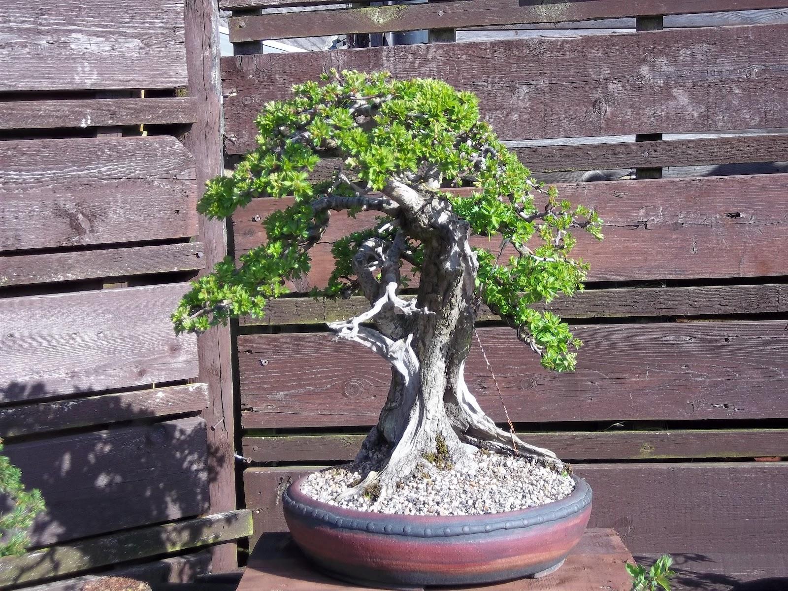 Ronin Bonsai Old Hawthorn
