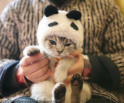 Panda cat returns.